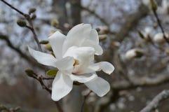 Цветения магнолии весной стоковые изображения