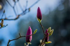 Цветения магнолии неоткрытые Стоковое Изображение