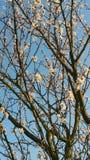 цветения миндалины белые Стоковая Фотография