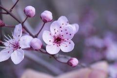 Цветения миндалины конца-вверх Стоковые Изображения