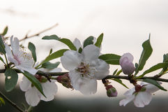 Цветения миндалины Стоковые Изображения