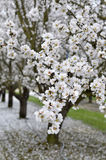 Цветения миндалины Стоковая Фотография