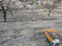 Цветения миндалины Стоковая Фотография RF