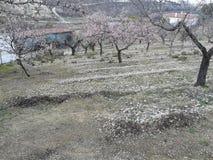 Цветения миндалины Стоковые Фото