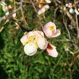 Цветения миндалин Стоковое фото RF