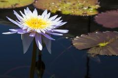 Цветения лотоса в пруде Стоковые Изображения