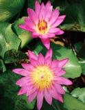 Цветения лотоса Стоковое Фото