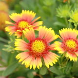 Цветения одеяла aristata Gaillardia, красивые желтые цветки Стоковые Изображения RF