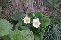 Цветения одичалой клубники Стоковое Фото