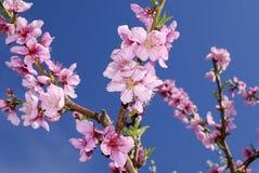Цветения персика в весеннем времени Стоковое Изображение