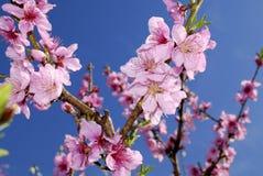 Цветения персика в весеннем времени Стоковые Фотографии RF