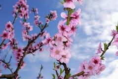 Цветения персика в весеннем времени Стоковое фото RF
