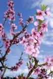Цветения персика в весеннем времени Стоковая Фотография RF