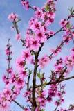 Цветения персика в весеннем времени Стоковая Фотография