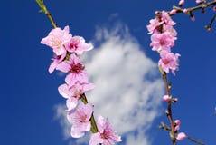 Цветения персика в весеннем времени Стоковое Изображение RF