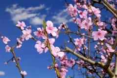 Цветения персика в весеннем времени Стоковые Изображения RF