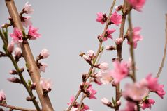 Цветения персика в Пекин весной стоковая фотография rf