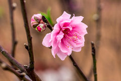 Цветения персика в свете солнца Стоковые Фотографии RF