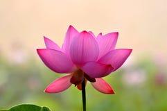Цветения пинка цветки wterlily Стоковые Изображения RF