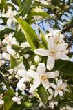 цветения померанцовые Стоковая Фотография