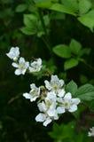 Цветения поленики и листья поленики Стоковые Изображения RF