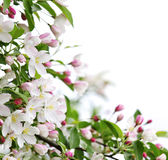 цветения предпосылки яблока Стоковые Фотографии RF