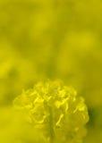 Цветения рапса и Mt Фудзи Стоковые Изображения