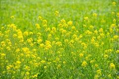 Цветения рапса против зеленого поля Стоковая Фотография RF
