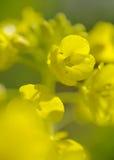 Цветения рапса Стоковые Изображения