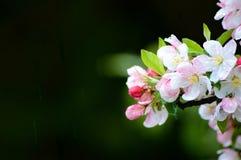 Цветения розового и белого цветка в дожде стоковая фотография