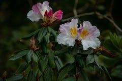 Цветения рододендрона белые & пинк 2 Стоковая Фотография RF