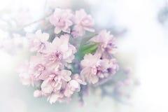 Цветения Сакуры весны стоковые фотографии rf