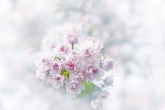 Цветения Сакуры весны стоковое изображение rf