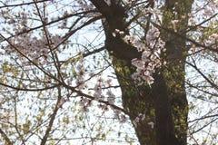 Цветения Сакуры, деревья Сакуры Стоковая Фотография RF