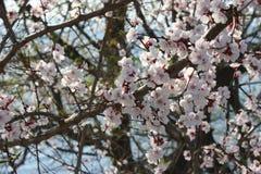 Цветения Сакуры, деревья Сакуры Стоковые Изображения RF