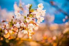 Цветения Сакуры Стоковое Фото