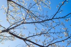 Цветения Сакур-вишни ветвей дерева на голубом небе Стоковые Изображения RF