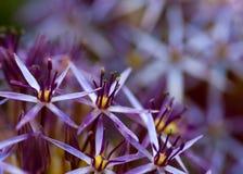 Цветения сирени Стоковые Изображения RF