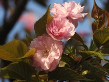 Цветения сливы Å'Bright ¼ Wintersweet ïкрасные стоковая фотография rf