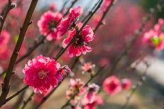 Цветения сливы на ветвях дерева с солнцем ярко светят на лепестках цветка Стоковые Изображения RF