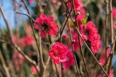 Цветения сливы на ветвях дерева с солнцем ярко светят на лепестках цветка Стоковое фото RF