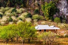 Цветения сливы вокруг этнических домов товара Стоковые Фото