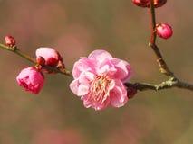 Цветения сливы на парке горы Стоковые Изображения RF