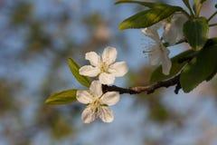 Цветения сливы Стоковые Изображения