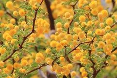 Цветения терния верблюда - предпосылка полевого цветка от Африки - золотая желтая красота Стоковые Фото