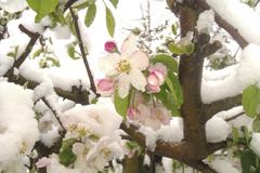 Цветения цветя яблони весной покрытой с снегом стоковые изображения rf