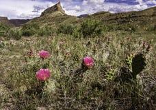 Цветения шиповатой груши Стоковое Изображение