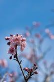 цветения яблока цветут розовая белизна Стоковые Фотографии RF