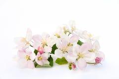 цветения яблока Стоковая Фотография