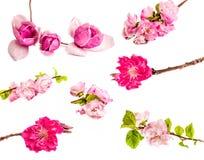 Цветения яблони, хворостины вишни, китайская магнолия комплект цветков весны изолированных на белой предпосылке Стоковое фото RF